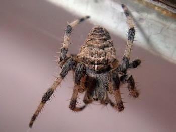 梦见蜘蛛从屋顶或高处掉到自己的身上